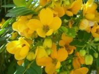 Растения с реадаптогенными свойствами